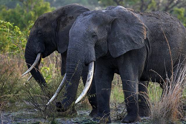 Kony's Ivory: How Elephant Poaching in Congo Supports the LRA