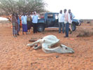 Camels Dying, Humanitarian Crisis Worsening in Central Somalia