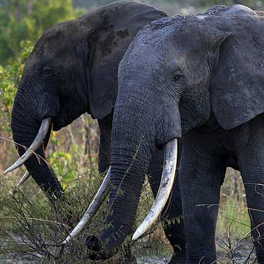 The Hill Op-ed: Kony's army now also killing elephants
