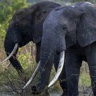 Elephant Poaching Fuels Conflict